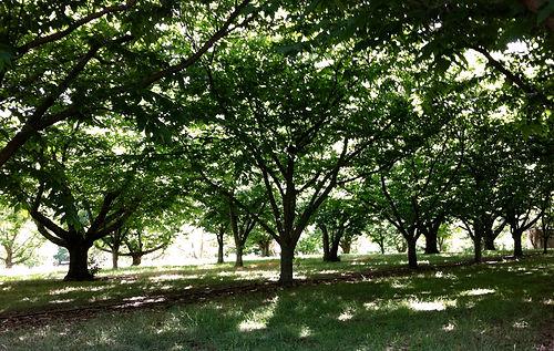 Hall Stanley Chestnuts-Canopy2.jpg