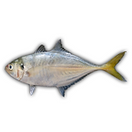 logo-main-know-your-fish_square.png