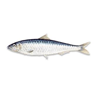 Indian Oil Sardine
