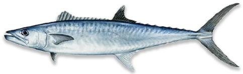 Kingfish.png