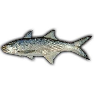 Indian Salmon