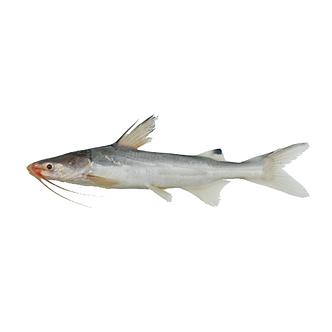 Small Catfish