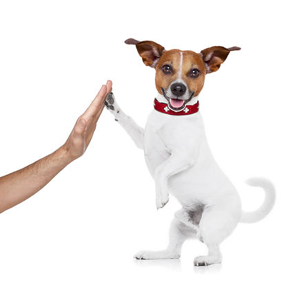 High Five Jack Russell