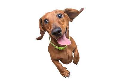 Happy and a little crazy brown dachshund jumping on camera. White isolated background.jpg