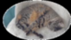 Berny, le chat de Marlène, créatrice de l'entreprise Bernyandco, garde d'animaux à domicile - GARD - VAUCLUSE - AVIGNON