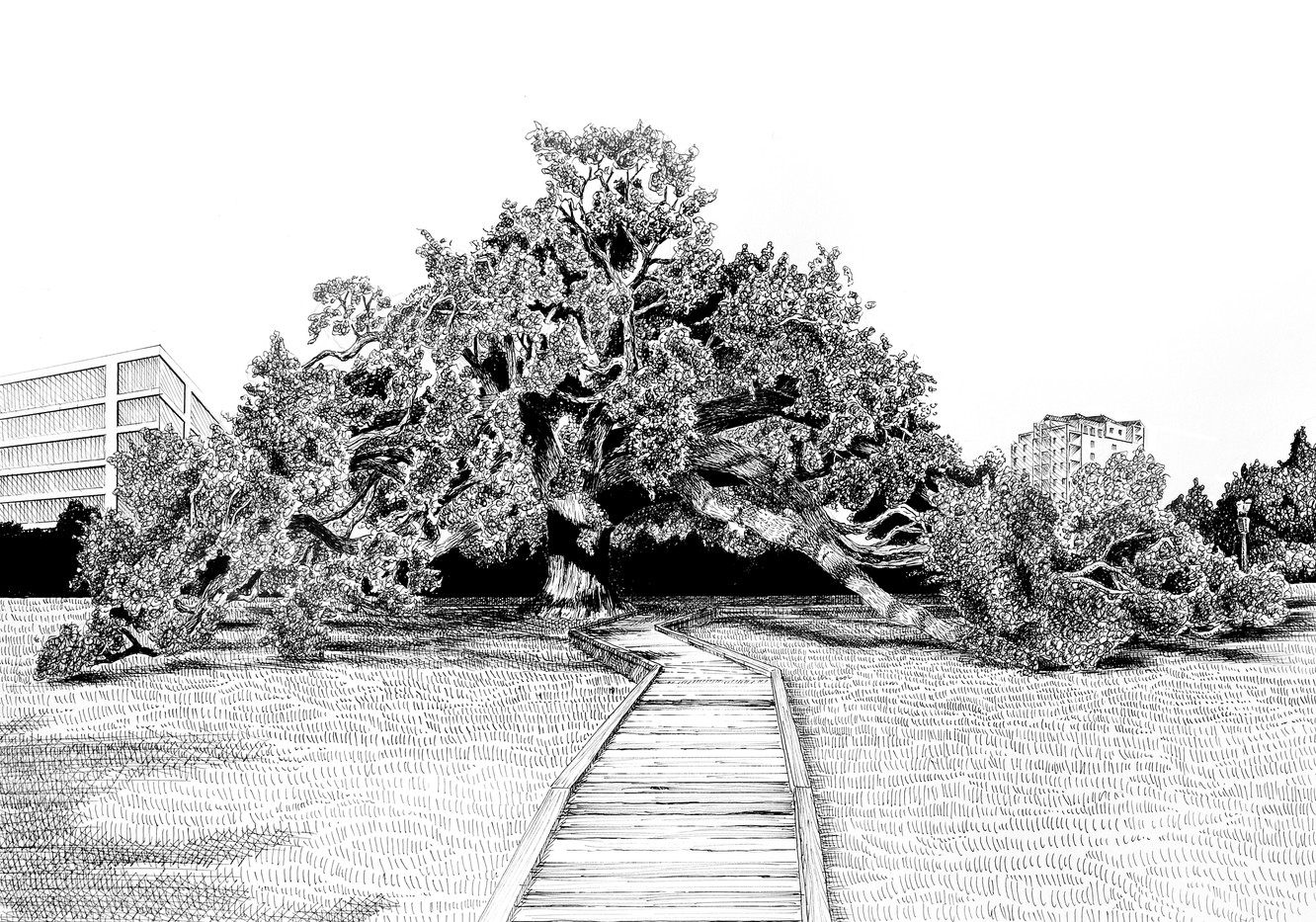 pen and ink illustration of the historical Treaty Oak tree in Jacksonville