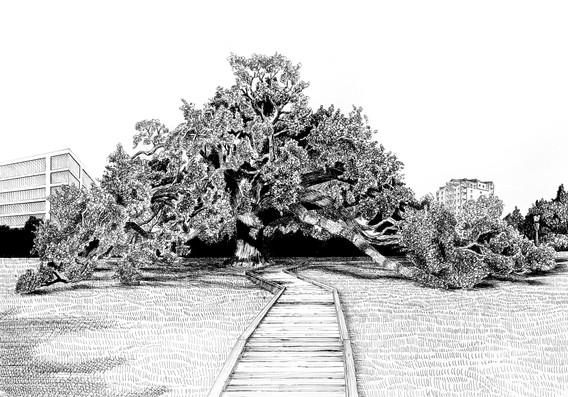 pen and ink illustration of the historical Treaty Oak tree in Jacksonville