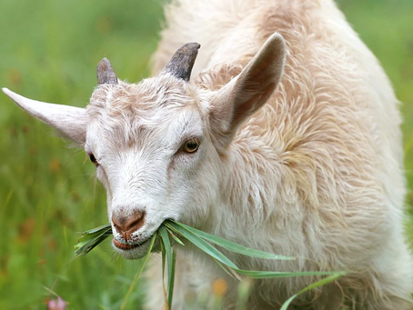 NSW RFS welcome goats to the firefighting team