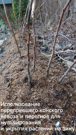 Применение конского навоза и перегноя осенью для укрытия растений