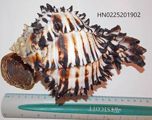 Hexaplex (Muricanthus) Nigritus - HN0225201902