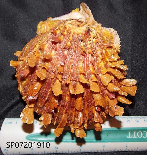 SPONDYLUS (Crassisquama) PRINCEPS - SP07201910