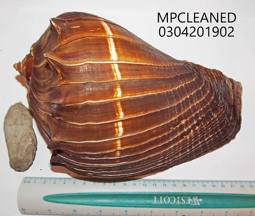 MELONGENA PATULA (Cleaned) - MPCLEANED0403201902
