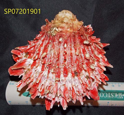 SPONDYLUS (Crassisquama) PRINCEPS - SP07201901