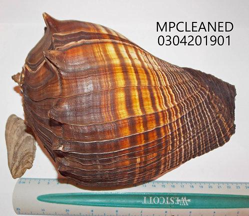 MELONGENA PATULA (Cleaned) - MPCLEANED0403201901