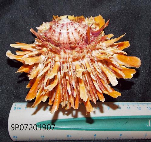 SPONDYLUS (Crassisquama) PRINCEPS - SP07201907