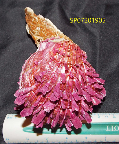 SPONDYLUS (Crassisquama) PRINCEPS - SP07201905