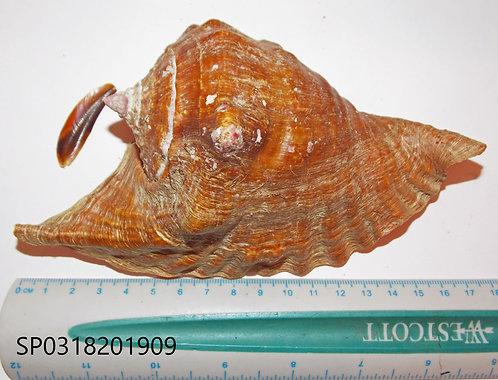 Lobatus (Strombus) Peruvianus - SP0318201909