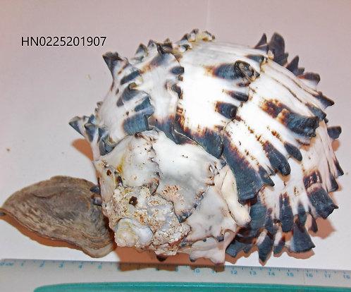 Hexaplex (Muricanthus) Nigritus - HN0225201907