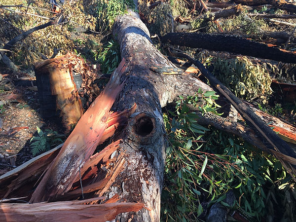 TCWA10 Hollow bearing tree felled at -35
