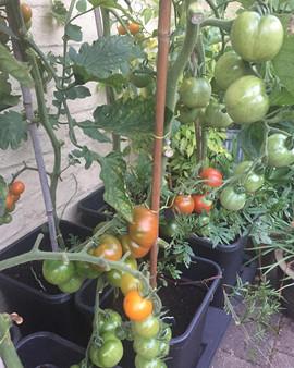 IG - Quadgrow Tomato - St Mary's Garden