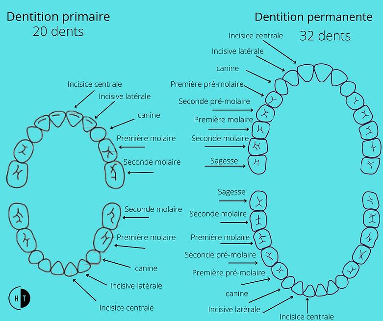 Éruption des dents CHTDL.png