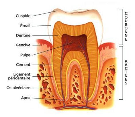 Parodontie | Chtdl