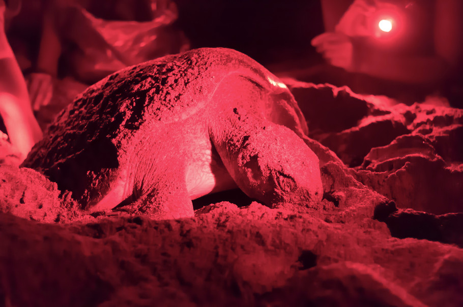 4. The turle begins laying eggs.jpg