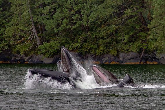 Humpbacks - Mother and Calf