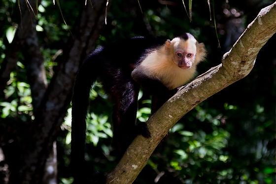 Capuchin Edit-1.jpg