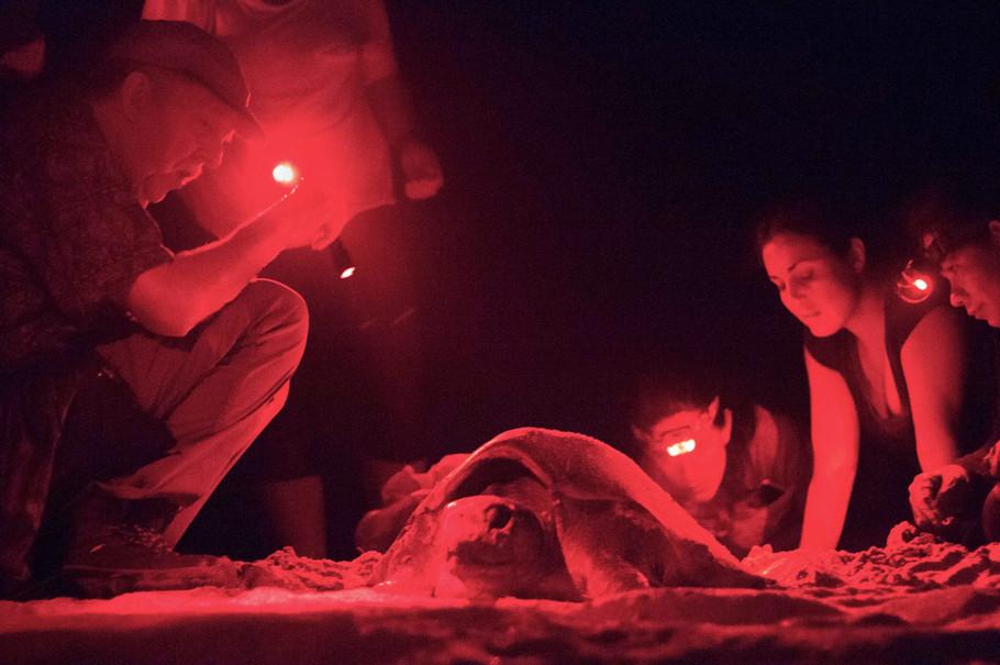 3. Volunteers  observing a sea turtle di