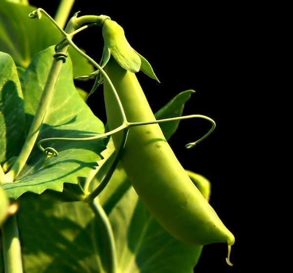 groszek zielony, białko, źródło białka roślinnego