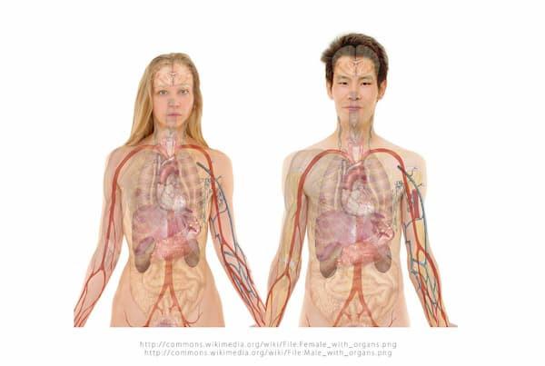 układ wewnętrzny, nerki