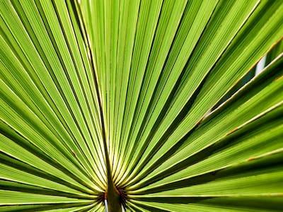 palma sabałowa, saw palmetto, działanie przeciwzapalne