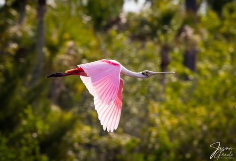 Roseate Spoonbill Flyby