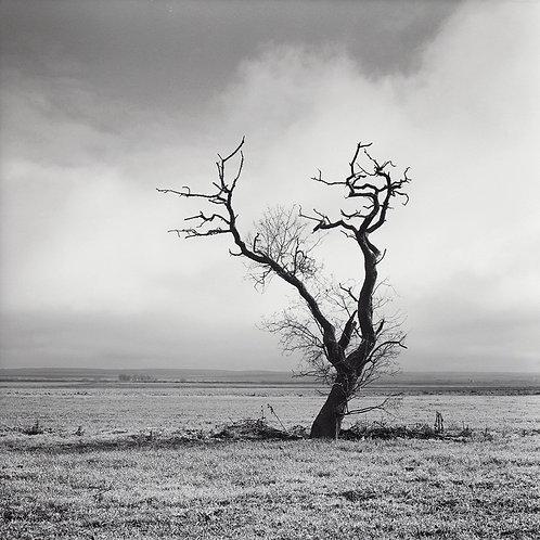 Árbol de la Estepa