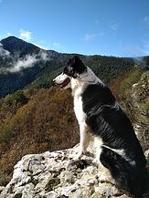 chien de bergère