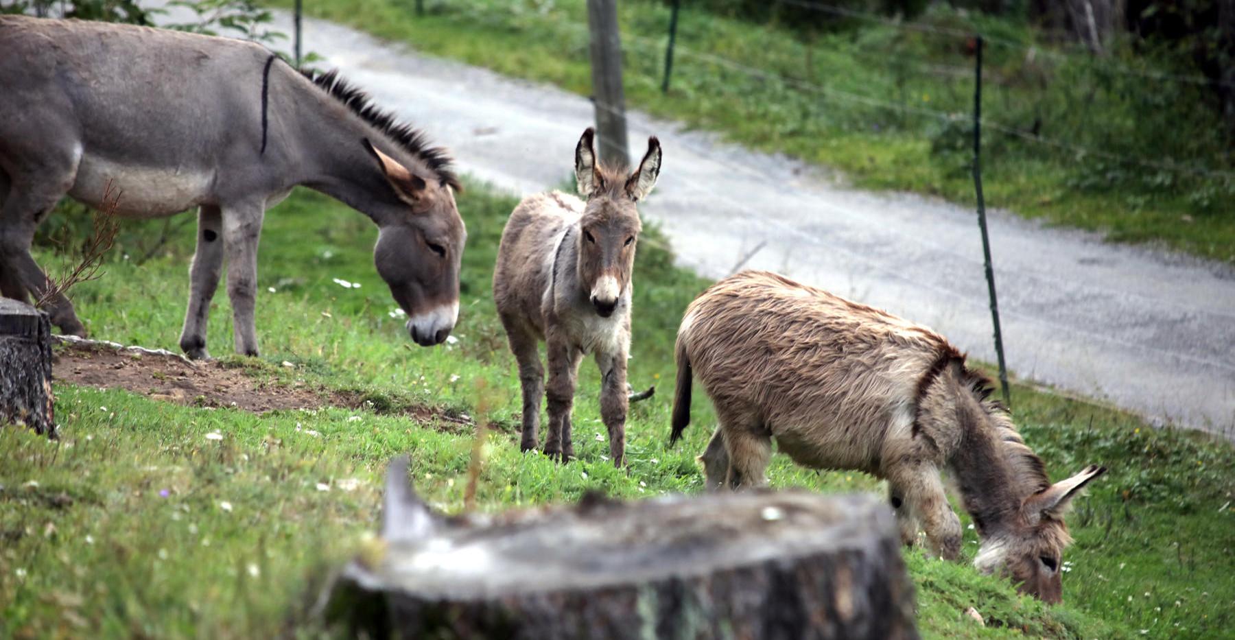 Les ânes aux Granges