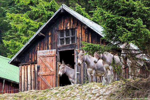 Les ânes de la Brasque aux Granges de la Brasque