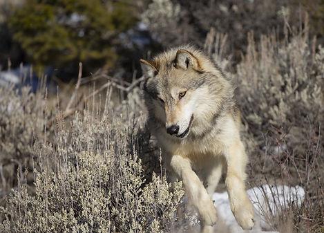 grey wolf yellowstone.jpeg