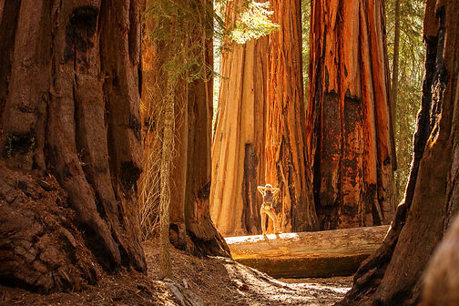 Sequoia.jpeg