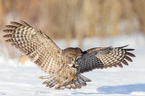 great grey owl 2.jpeg