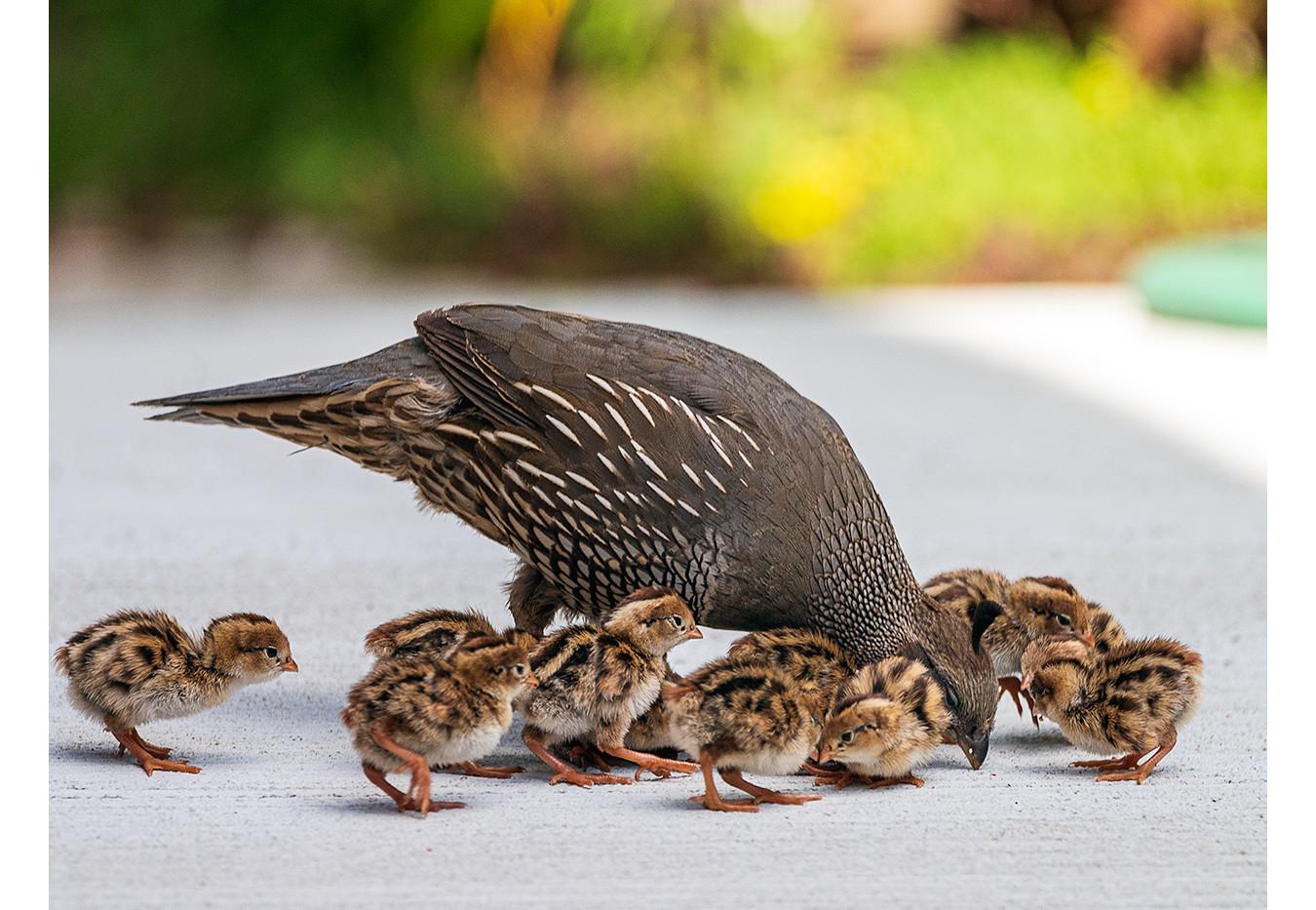 California Quail and Chicks