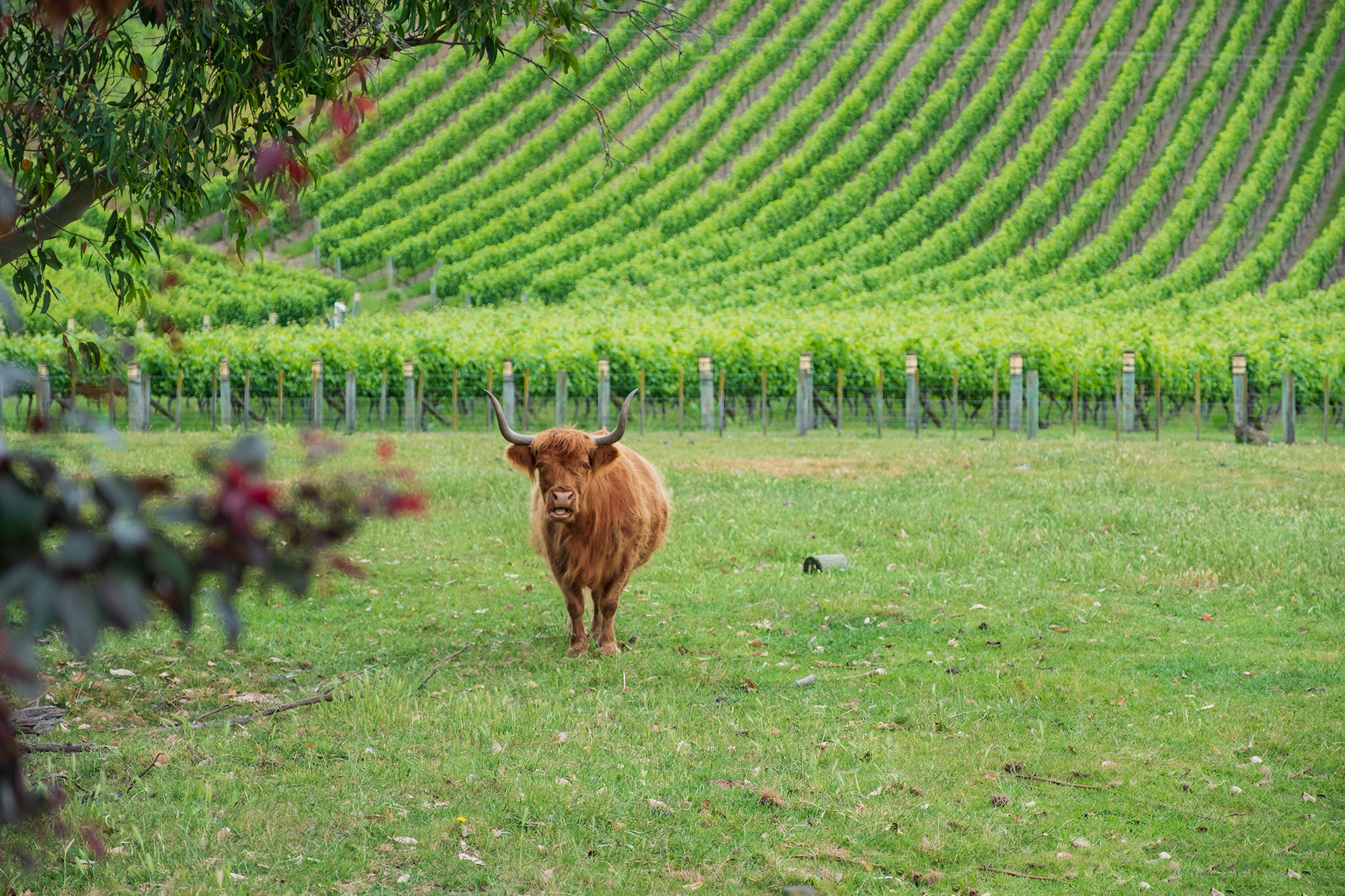 Hawkes Bay Vineyard Resident