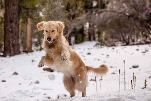 Liberty Golden Retrievers of Las Vegas