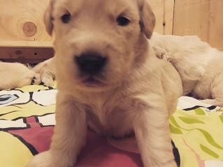 3 week old golden retriever puppies!