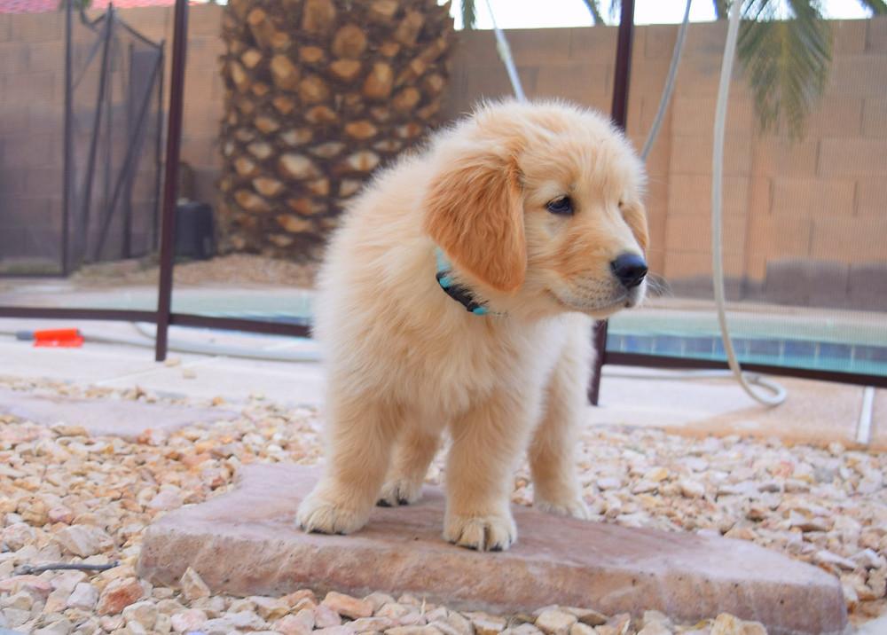 Liberty Golden Retrievers Puppy