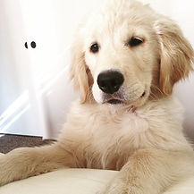 Lady Liberty Golden Retriever Puppy