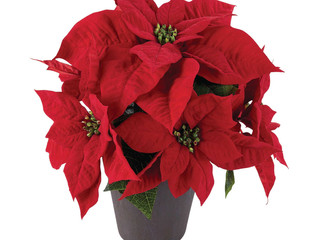 Christmas Poinsettia Sale