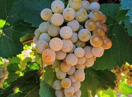 נא להכיר: זן עינבי יין בשם טרמינט