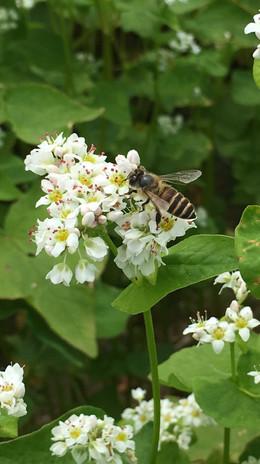 柿の花の蜜を吸う蜜蜂